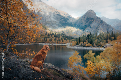 dog at a mountain lake in autumn. Traveling with a pet. red Nova Scotia Duck Tolling Retriever on nature background