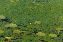 Yellow Water Lily And Duckweed...