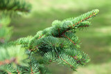 Spruce branch over blurred green forest