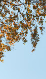 Birch tree branches with yellow green autumn leaves