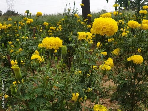 yellow gloria flower garden Poster Mural XXL