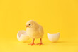 Cute hatched chick on color background