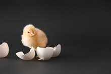 Cute Hatched Chick On Dark Bac...