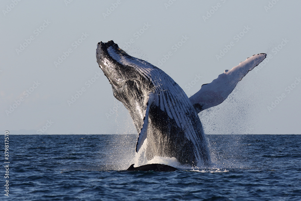 Fototapeta Amazing scene of a humpback whale jumping in front of its calf while sailing in the Sainte Marie canal, Madagascar