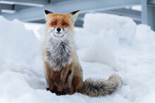 Red Fox Vulpes Vulpes In The W...