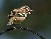 Female Chaffinch Looking To Fe...