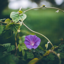 Morning Glory Vine With Purple Flower
