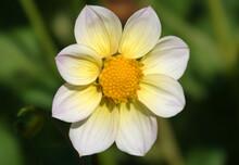 Flowers Dahlia Minion - Dahlia Pinnata