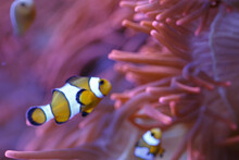 Clownfish With Anemone In The ...