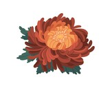 Bud with gentle petals of japanese orange chrysanthemum vector illustration in realistic style. Colorful beautiful flower with leaves isolated on white background. Blossom elegant floral plant
