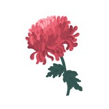 Tender blossom japanese chrysanthemum with stem and leaves vector illustration in realistic style. Elegant pink flower with bud and petals isolated on white background. Colorful floristic decor