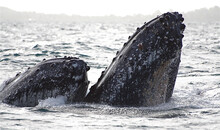 Epic View Of Humpback Whale Gr...