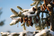 Snow Covered Fir Tree With Cones