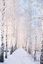 Winter Forest With Trees Cover...