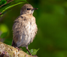 Young Starling Bird Sitting On...