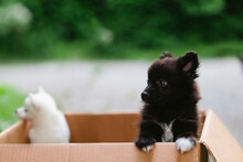 Two Stray Spitz Puppy Dogs Standing On Their Feet In A Cardboard Box