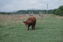 Shetland Brown Bos Taurus In ...