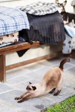 Siamese Cat Stretches His Body In Garden