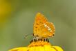 Pomarańczowy motyl - lycaena virgaureae - siedzący na żółtym kwiatku