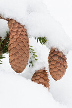 Spruce Cones And Snow