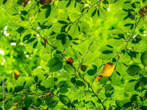 Obraz na plátně Erste welke herbstliche Blätter am Baum
