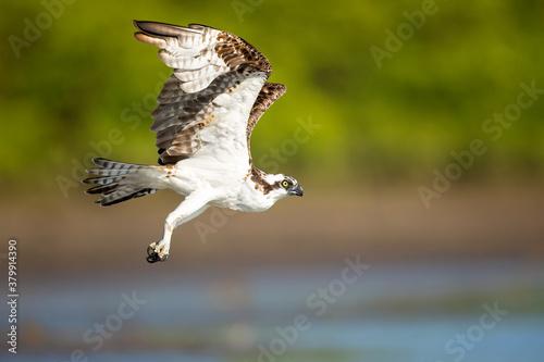 Fotografía The osprey or more specifically the western osprey (Pandion haliaetus) — also called sea hawk, river hawk, and fish hawk — is a diurnal, fish-eating bird of prey with a cosmopolitan range