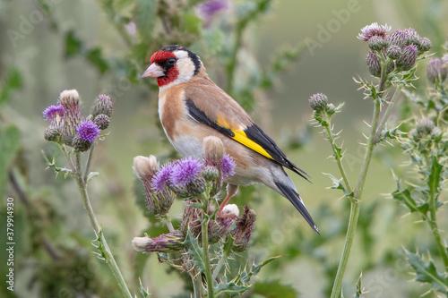 Valokuva Goldfinch in thistle