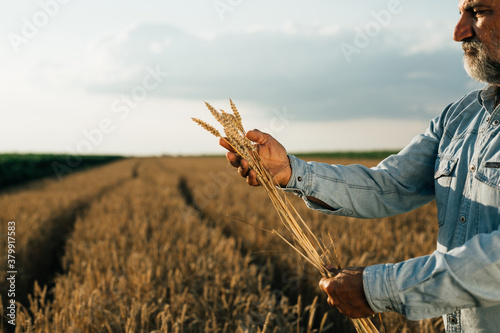 Fototapeta agricultural worker standing in wheat field holding wheat obraz