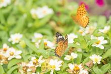 お花に群がる二匹の蝶