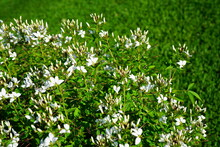 White Cleome Spider Flowers In...