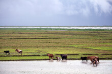 Cows Are Crossing The River