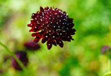 Dark Purple Scabiosa Pincushion Flower