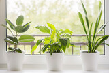 Home flowers and plants in white pots on the windowsill: Sansevieria, Ficus elastica, Spathiphyllum, cactus. Home plants care concept. Interior of a modern scandinavian style apartment