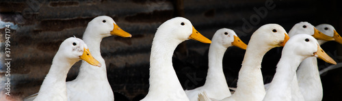 Fototapeta ducks stand looking in farm. White duck ( Pekin )