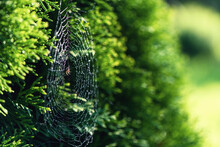Spider Web In Water Droplets A...
