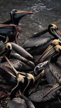Pelicans On The Dock