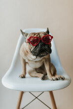 French Bulldog Puppy Dog Sitting On An Eames Chair Wearing Heart Sunglasses For Valentine's Day