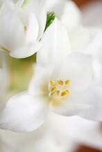 Macro Of White Ornithogalum Flower