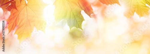 Fototapeta Colorful Autumn leaves on sunlight web banner or background obraz