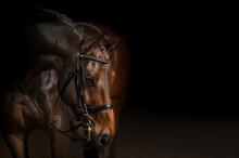 Portrait Of A Sport Dressage H...