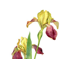 Two Watercolor Yellow Irises On A White Background