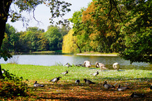 Swans, Wild Geese And Ducks On Lake Inside Garten Eden Paradise Public Park Of Schloss Nymphenburg Castle Palace In Munich, Germany On Autumn Day With Picturesque Landscape Scenery And Fall Colors