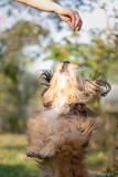 Fototapeta Zwierzęta - beautiful fluffy dog playing with human