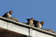 Three Young Beautiful Hungry Barn Swallows At A Gutter Of A Roof With A Blue Background In Springtime