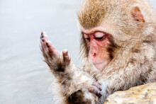 Snow Monkey (Macaca Fuscata) F...