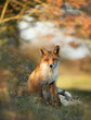 canvas print picture - Red fox sitting under a tree in autumn