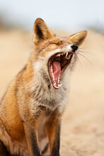 Portrait Of A Yawning Red Fox
