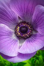 Blue Poppy Anemone