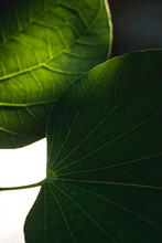 Light Through The Leaf