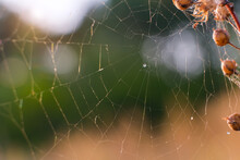 A Wet Spiders Web Shot Against...